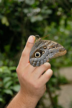 Caligo Memnon. Tawny Owl Butterfly, Memnon's Owl. Monteverde, Costa Rica. - Photo #14222