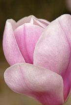 Magnolia x soulangiana. Saucer Magnolia. - Photo #11916