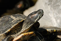 Red-eared turtle. Good Wish Gardens, Wong Tai Sin Temple. - Photo #15806