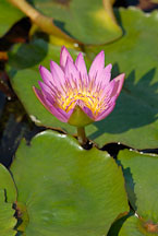 Flowering lily pad. Chi Lin Nunnery. Hong Kong. - Photo #15898