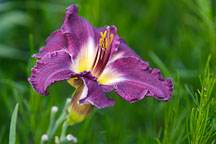 Hemerocallis 'Darker Shade'. - Photo #1317