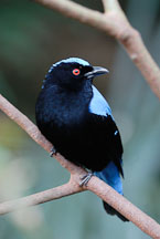 Asian Fairy Bluebird. Irena puella. - Photo #16505