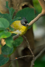 Black-crested yellow bulbul. Pycnonotus melanicterus. - Photo #16494