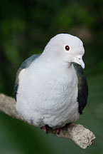 Green Imperial Pigeon. Ducula aenea. - Photo #16470