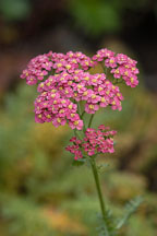 Achillea Millefolium 'Paprika' - Photo #2318