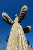 Saguaro Cactus, Cereus giganteus - Photo #5318