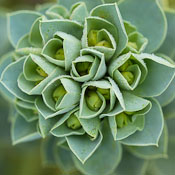 Euphorbia myrsinites. - Photo #2818