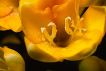 Pictures of Freesia