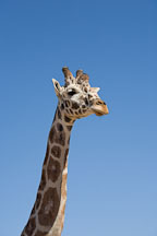 Head and neck of giraffe. - Photo #17562