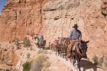 Man leading mules carrying supplies. Grand Canyon NP, Arizona. - Photo #17436