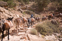 Mules carrying supplies. Grand Canyon NP, Arizona. - Photo #17440