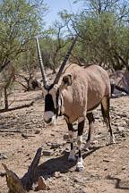 Oryx, Gemsbock Antelope. - Photo #17555