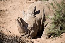 White rhinoceros. - Photo #17558