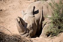 White rhinoceros. - Photo #17558