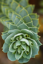 Euphorbia myrsinites. - Photo #2819