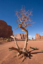 Barren tree. Monument Valley, Arizona. - Photo #18835