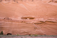 Cows grazing in front of Ledge Ruin. Canyon de Chelly, Arizona. - Photo #18113