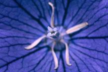 Balloon flower. Platycodon grandiflorus. - Photo #614