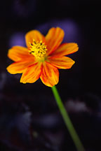 Cosmos sulphureus, 'Diablo' - Photo #304
