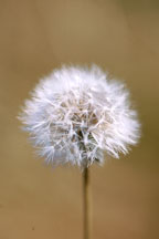 Dandelion. Taraxacum officinale. - Photo #129