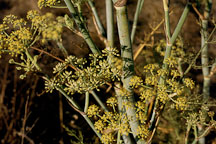 Dill flowers, Anethum graveolens. Irvine, California. - Photo #50