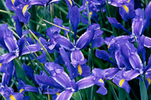 Dutch iris. Blue Magic. Iris xiphium X Iris tingitana. - Photo #894