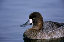 Female Greater Scaup. Aythya marila. Palo Alto Baylands. - Photo #767