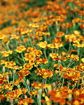 Field of marigolds. Tagetes patula nana. Harlequin marigold. - Photo #607