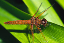 Flame skimmer. Libellula saturata. Monterey, California, USA. - Photo #259