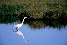 Great Egret, Casmerodius albus. Palo Alto Baylands, California. - Photo #952