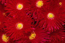 Lampranthus persii. - Photo #146