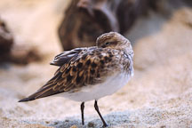 Least sandpiper. Calidris minutilla. Monterey Aquarium, California, USA. - Photo #230
