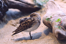 Least sandpiper. Calidris minutilla. Monterey Aquarium, California, USA. - Photo #240