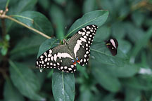 Lime Butterfly. Papilio demoleus - Photo #662