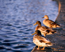Mallards at the duck pond. Palo Alto Baylands Nature Preserve, California. - Photo #231