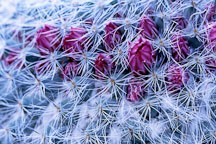 Pictures of Mammillaria