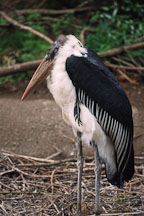 Marabou Stork. Leptoptilos crumeniferus. - Photo #605