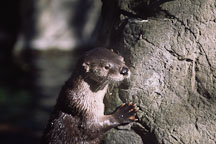 River otter. Lutra canadensis. - Photo #663