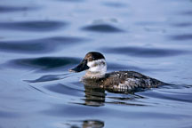 Ruddy duck. Female. Oxyura jamaicensis. Palo Alto Baylands, California. - Photo #773