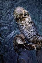 Sea otters grooming. Enhydra lutis. Captive. Vancouver, British Columbia, Canada. - Photo #69