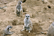 Slender-tailed meerkat. Suricata suricatta. San Francisco Zoo, California. - Photo #198