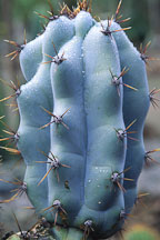 Unidentified cactus. - Photo #668