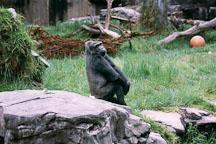 Western lowland gorilla. Gorilla gorilla gorilla. San Francisco Zoo, California. - Photo #201