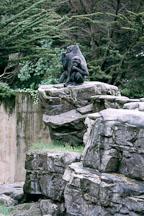 Western lowland gorilla. Gorilla gorilla gorilla. San Francisco Zoo, California. - Photo #202