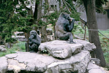 Western lowland gorilla. Gorilla gorilla gorilla. San Francisco Zoo, California. - Photo #204
