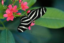 Zebra longwing. Heliconius charitonia. - Photo #2402