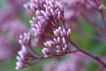 Joe pye weed, Eupatorium purpureum. - Photo #1720