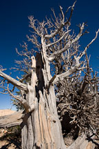 Ancient Bristlecone pine. Bristlecone Loop Trail, Bryce Canyon NP, Utah. - Photo #19096
