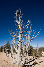 Barren branches of Bristlecone Pine. Bristlecone Loop Trail, Bryce Canyon NP, Utah. - Photo #19104
