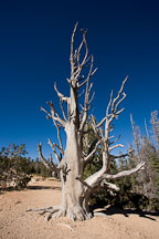 Bristlecone Pine on the Loop Trail, Bryce Canyon NP, Utah. - Photo #19106